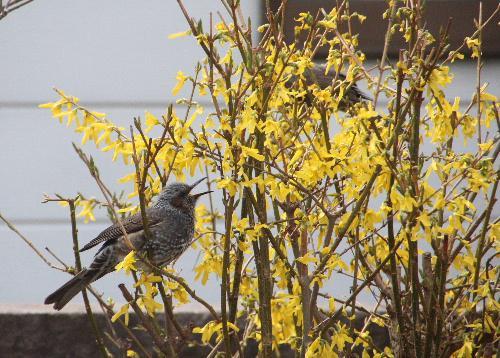 今日も花ドロボー 敵は「ヒヨドリ」 鳥が花を食べるのはかわいいけど花がなくなってきた