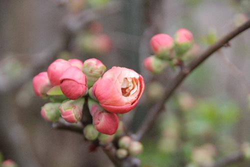 庭先を見ると色々な花が咲き始めました 雪柳と桜の蕾の競演 ボケ