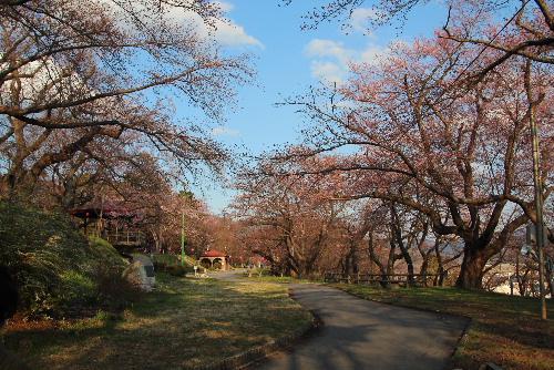 烏帽子山公園千本桜が4月8日に開花宣言 夕方の公園の桜を撮影してみました 新型コロナの影響かひっそりとした公園風景