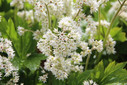 隣家の庭の雨の中の白い花 何という名前なのかもわからない