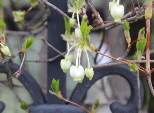雨上がりの冷たい風に小さな白いドウタンの花が揺れています 新型コロナが蔓延しているかどこか寂し気です