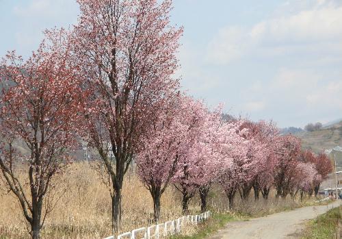 今日はネットで花見第1日目 国道13号バイパス側道沿いの数百本の桜 散り始めています