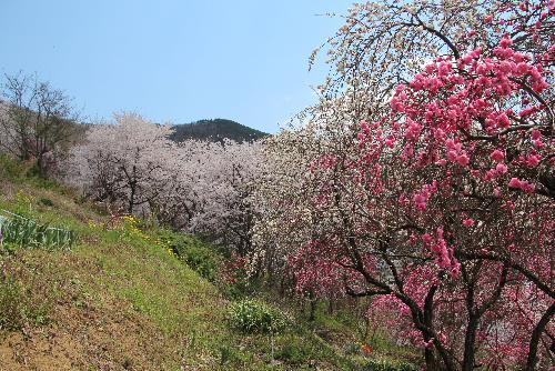 ネットで花見第3日 梅と桜が見事にコラボした小さな素敵な私設公園を赤湯金沢地区で自転車に乗っていて見つけました