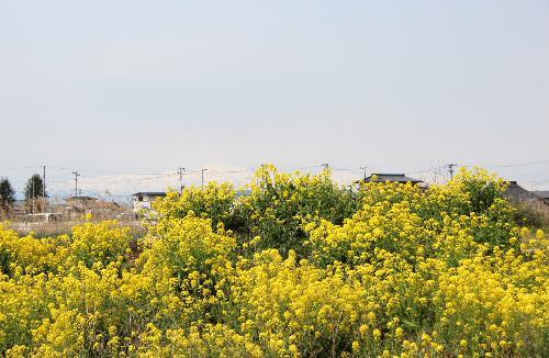 ネットで散歩 自転車にのって近所をぶらりと菜の花探訪