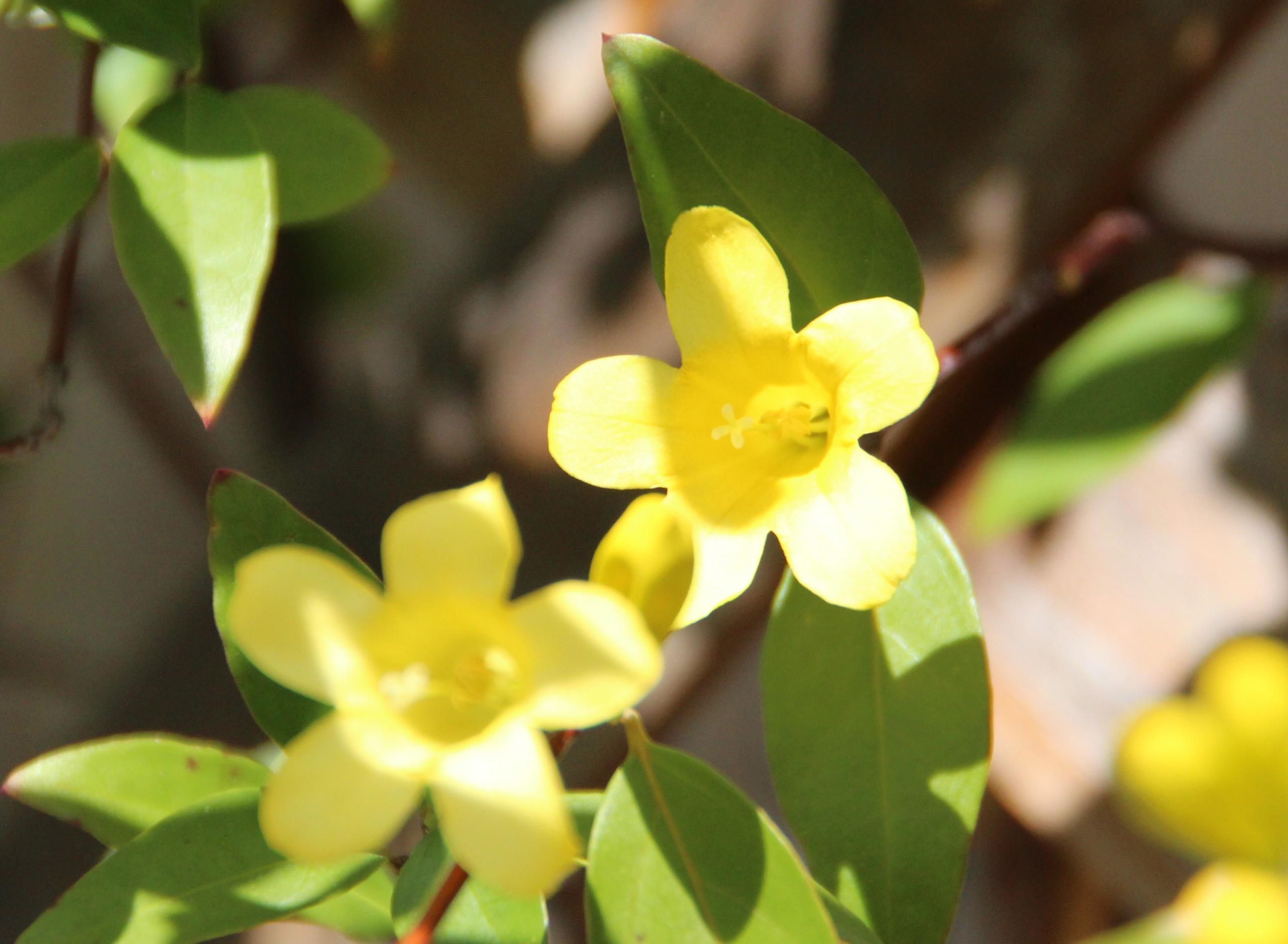 ほのかなジャスミンの香りを漂わせ「カロラインジャスミン」の花が開花しました