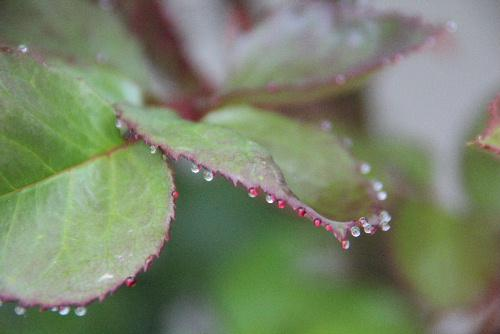 早朝 バラの葉に小さなダイヤモンドがキラリと光っています