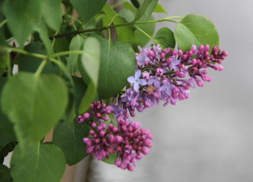 初夏を彩る紫色のライラックも花が間もなく終わりです