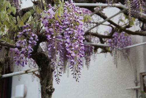 紫も鮮やかに 藤の花が咲き始め クマバチも飛んでいます