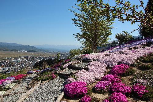 南陽市赤湯 秋葉山頂付近の白竜湖を眼下に望む地で息をのむような芝桜園を見てきました
