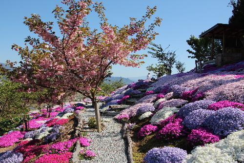 秋葉山頂の見事な芝桜園をもう少しご案内します