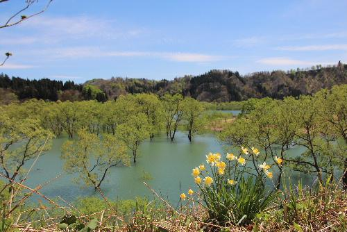 沖縄のマングローブ? 白川ダムが満々と水をたたえ新緑の葉をつけた木々が美しい 飯豊山の残雪も映える