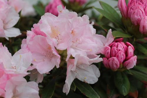 薄紅色のシャクナゲ 花言葉は「荘厳」 凛と咲く花で気持ちを落ち着かせてくれます