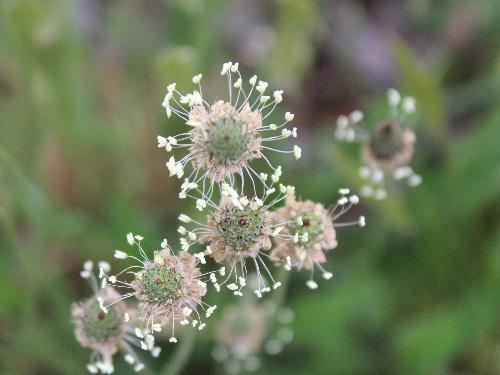 冠をつけた花 路傍などどこにでも咲くヘラオオバコ(?)があちこちにみられます