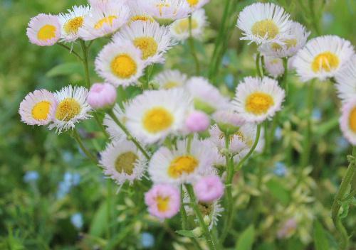 田植えが始まりました 田んぼわきの道端にさくハルジオンがピンクの可憐な花を咲かせています