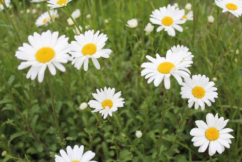 真っ白なジョチュウギクが一面に咲いています 昨日は最高気温が10度前後と3月並みの寒い一日でした 田んぼでは代掻きのトラクターがあちこちで動いています