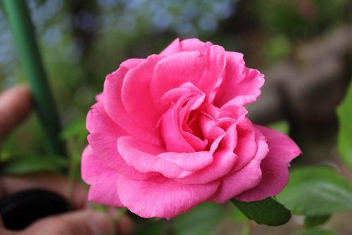 我が家のバラ園にバラが一輪咲きました これから次々とさいてくれるのだろう蕾がたくさんついています