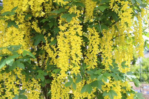S氏の庭にあまり見ることができない鮮やかな黄色のフジが見事に咲いています/