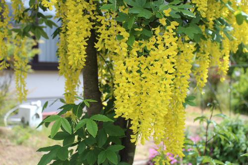 S氏の庭にあまり見ることができない鮮やかな黄色のフジが見事に咲いています