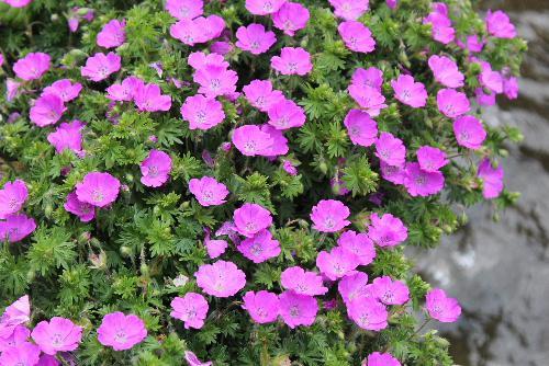 花々が咲き誇る初夏 道々の家の庭に様々な花が咲いています