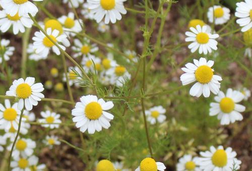 カモミール リンゴのように甘く優しい香りで心をほっと和ませて可憐な白い花で 新型コロナウイルスで疲弊している昨今 一服の清涼剤のような花です 花言葉は「親交」「仲直り」