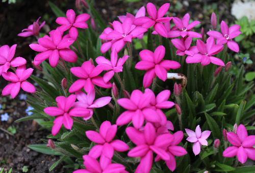 アッツ桜が濃いピンクの花を咲かせています 春から夏に向かって花々の色が黄色やピンク、水色から濃い色に移り替わっていきます 花には昨晩降った雨の水滴が残って宝石のようです