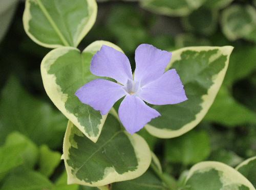 初夏を彩る淡い紫色のツルニチニチソウが咲いています 地を這うように伸びちょっと変わった四角い5枚の花びらがついています