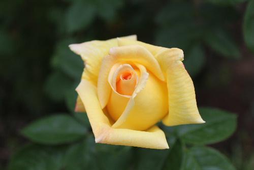 甘~い香りのする黄色のバラがようやく咲きました
