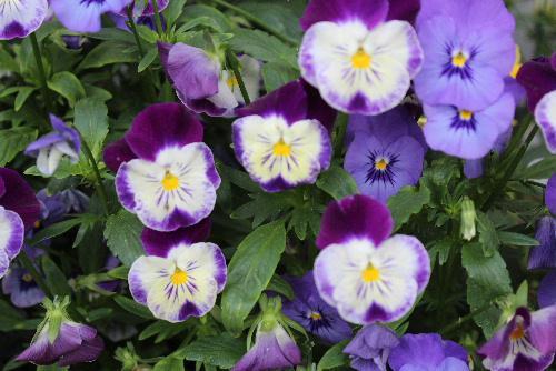 紫色の花が初夏から梅雨の時期を彩ります