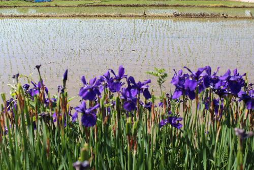 田植えの終わった田んぼのそばに初夏の陽ざし中で鮮やかな紫色のカキツバタが咲いています もう終わりに近いのかな 川べりにカキツバタと似た紫色の花も撮りました