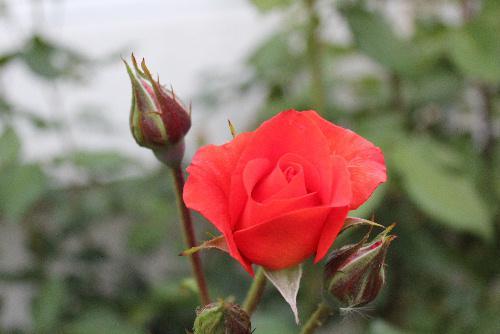 小さな小さな我が家のバラ園が開園です 窮屈そうに9種類のバラが咲いています