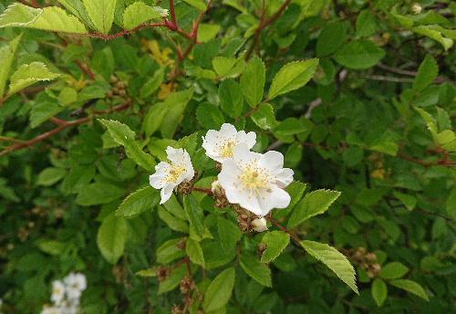 いつも歩く散歩道に咲く花々や桜の木の実「さくらんぼ」などが初夏を彩ります