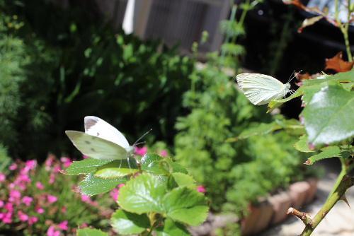 つがいの蝶をようやく撮ることができました/