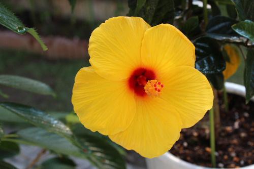 鉢植えの黄色のハイビスカスや初夏の花ティモヒラが夏を迎えるるかのように咲いています/
