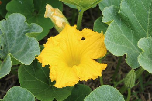 黄色 紫 白と様々な野菜カボチャやナス、ジャガイモなどの花が咲き始めました まもなく野菜の収穫も始まります/