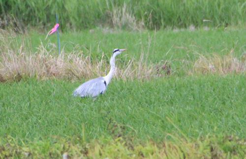 近所のたんぼに一羽のサギを見つけました 急いでカメラを取りにもどりシャッターを切りました 大きく優雅な鳥です/
