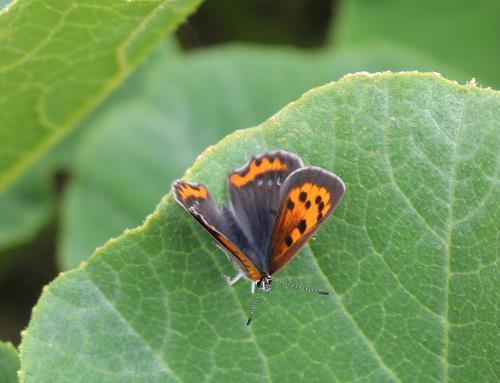 小雨が降り涼しい朝です 昨日撮影したカボチャの葉に小さなチョウが止まっていました/