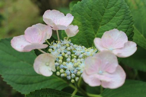 薄日の下に 水滴をたたえた色とりどりのアジサイがそちこちに咲いています/