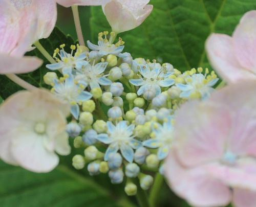 薄日の下に 水滴をたたえた色とりどりのアジサイがそちこちに咲いています