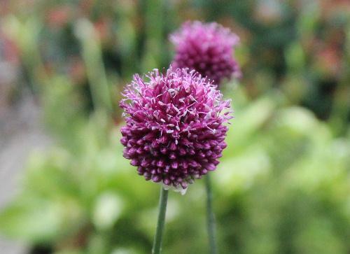 梅雨の合間をぬって花探し ねぎの仲間でアリウムが首を長〜くして紫色の花をつけています/