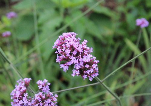 花茎を長く伸ばしその先に小さな赤紫色の花をびっしりと咲かせている花の名前は? 誰か教えてください