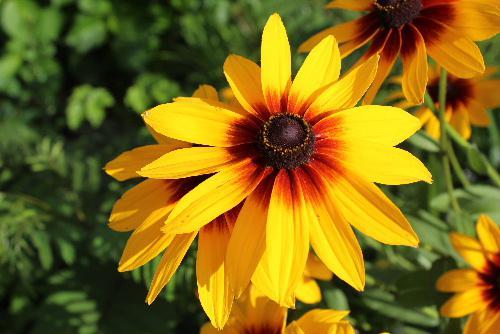 友人の庭に奥様が丹精込めて育てているヒマワリによく似た黄色の花を撮りました 中心が赤く真黄色の花びらはこれから来る夏を迎える準備をしているようです 図鑑で調べてみると「ハンゴウソウ」という名前の花かな?/