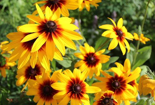 友人の庭に奥様が丹精込めて育てているヒマワリによく似た黄色の花を撮りました 中心が赤く真黄色の花びらはこれから来る夏を迎える準備をしているようです 図鑑で調べてみると「ハンゴウソウ」という名前の花かな?