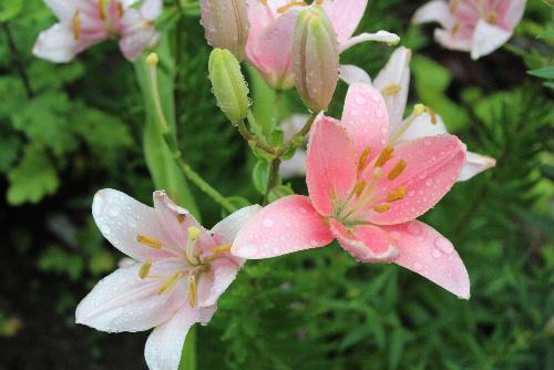 雨に濡れた色々な花が咲いています 梅雨どきの花は春や夏の花とも違った色や形のものがあります 雨の中を歩きながら道の傍の花にも目を向けてみてはいかがですか