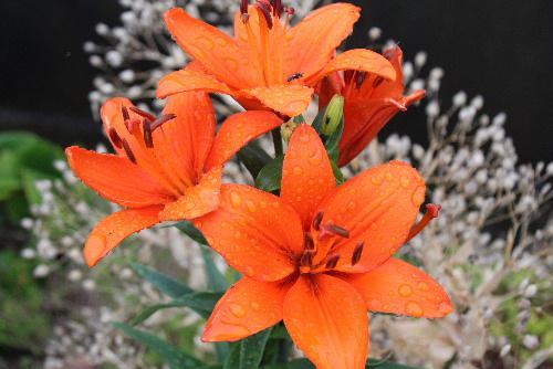 雨に濡れながら色も形も様々なユリがそちこちに咲いています 清楚なそれでいて華やかな花がユリでしょうか/