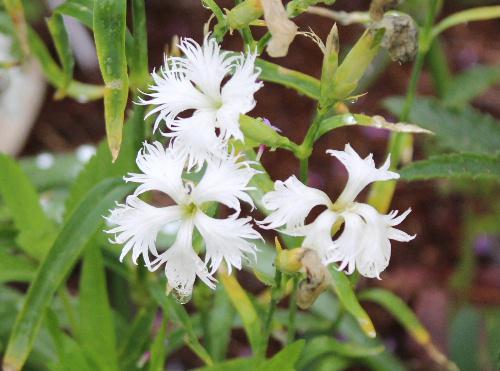 雨降りが続き熊本県では大きな被害がでるなど暗いニュースが続きます 心を癒してくれる花を眺めてみませんか /