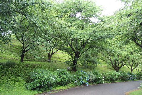 南陽市にも2代目ワシントン桜 平成6年〜7年にかけて赤湯中学校や烏帽子山公園に7本植栽されました アジサイの咲く烏帽子山公園にワシントン桜がありました/