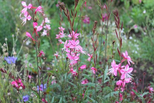 初夏には今まで見たこともない花がたくさん咲いています 早朝散歩で見つけた花の名前を図鑑で調べましたがわかりませんでした 初夏の花らしくひっそりと咲いているようです/