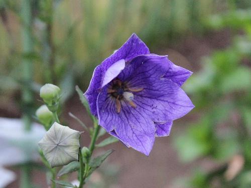 夏の花キキョウが雨上がりの畑にさいていました 梅雨明けはまだまだのようで鮮やかな紫色の花を見れるのはまだ先かなあ/