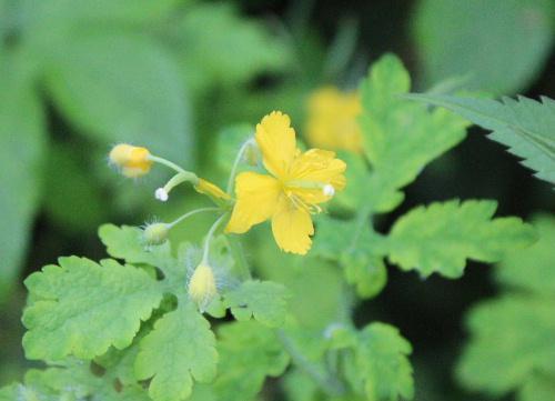 道端に4枚の黄色い花弁をつけたクサノオウがあまり目立たずにひっそりと咲いています 皮膚病に薬効があり「くさ(できもの)の王」の説が有力だとか/