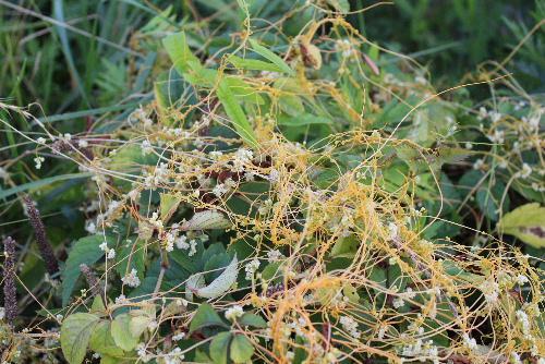 川べりに絡まった黄色の糸のような茎に白い小さな花が咲いていました 今まで見たこともないような不思議な野草です 調べましたが名前もわかりません/